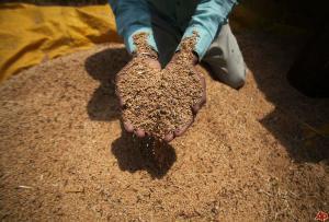 india-wheat-2011-5-5-8-51-9