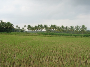Paddy_Fields_